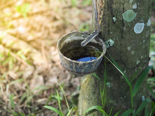 Potenciômetro ou bacia para o látex de borracha enchido na árvore da borracha na plantação, tailândia. Foto Premium