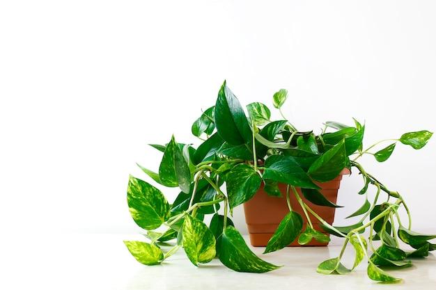 Pothos dourado ou epipremnum aureum na mesa branca na sala de estar em casa e jardim Foto gratuita