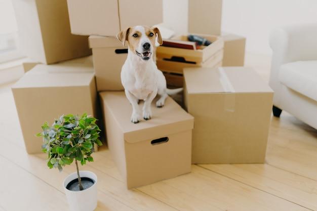 Pouco marrom e branco jack russel terrier cachorro posa em caixas de papelão Foto Premium