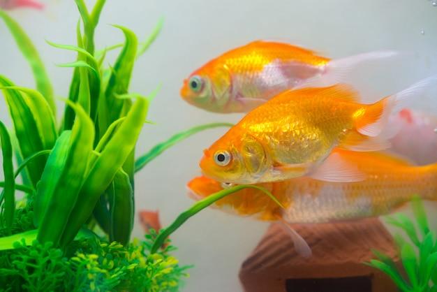 Pouco, peixe dourado no aquário ou aquário Foto Premium