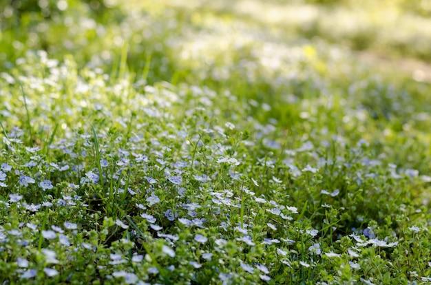 Prado das flores dos miosótis sob o sol brilhante da primavera. myosotis ou escorpião gramíneas florescendo na primavera. Foto Premium