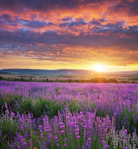 Prado de lavanda. composição de paisagem natureza. Foto Premium