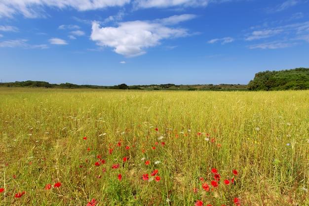 Prados de grama verde menorca ciutadella com papoilas vermelhas Foto Premium