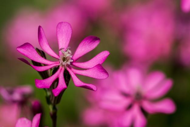 Prettypink pirouette, uma pequena flor rosa na zona rural de malta Foto gratuita