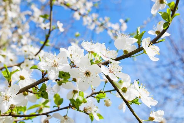 Primavera flor branca contra o céu azul Foto Premium