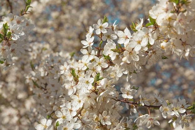 Primavera flores de cerejeira flores brancas Foto Premium