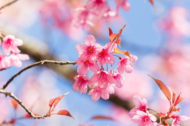 Primavera flores de cerejeira. Foto Premium