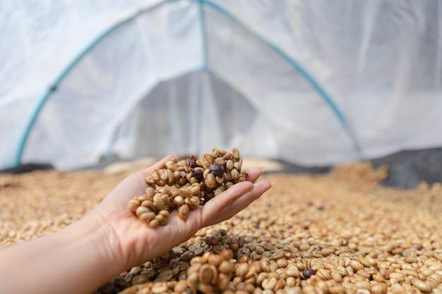 Processo de secagem do café depois que a pele e a polpa são removidas pelo sol na cúpula de plásticos Foto Premium