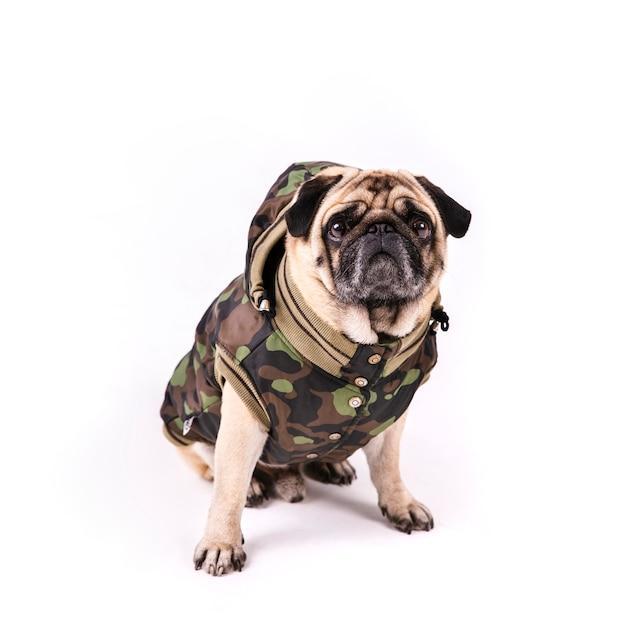 Pug bonito em roupas de exército Foto gratuita