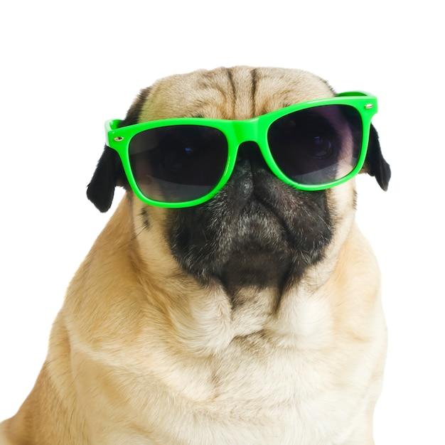 Pug com óculos de sol em fundo branco