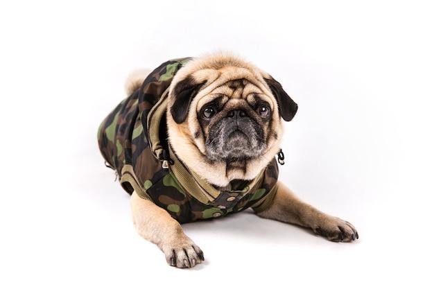 Pug fofo deitado em roupas de exército Foto gratuita