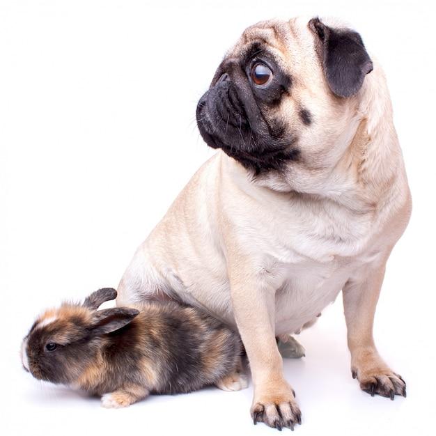 Pug muito triste e coelho isolado no fundo branco Foto Premium