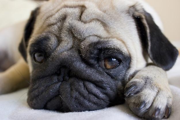 Pug triste deitado na cama Foto Premium