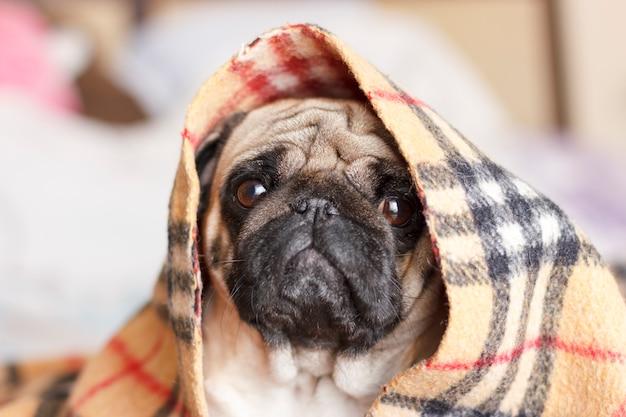 Pug triste do cão com os olhos grandes em cobertor quadriculado Foto Premium