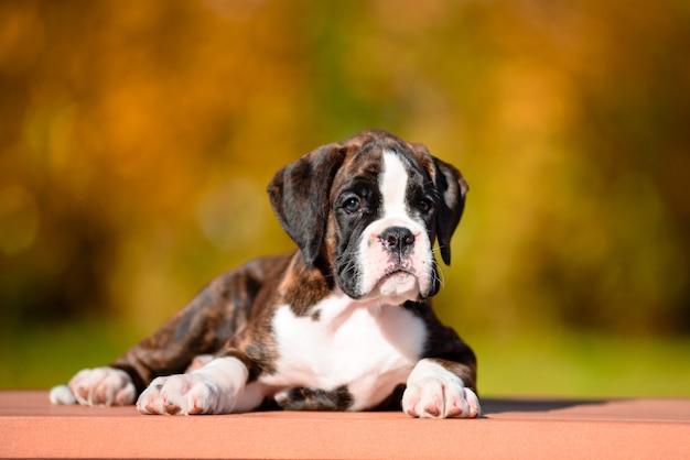 Pugilista bonito da raça do filhote de cachorro do tigre no parque do outono. Foto Premium