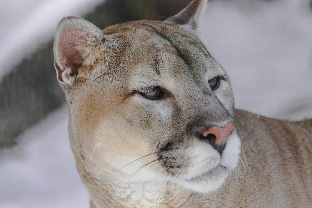 Puma, olhando para a direita Foto Premium