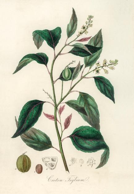 Purgando croton (croton tiglium) ilustração de medicina botânica (1836) Foto gratuita