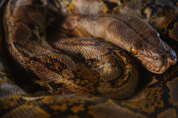 Python que descansa comuta anéis. fazenda de cobra na tailândia. Foto Premium