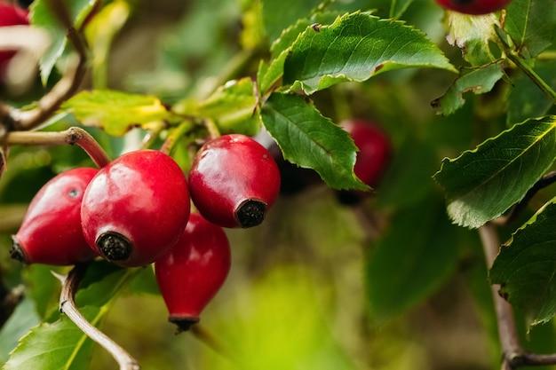Quadris maduros vermelhos em estado selvagem Foto Premium