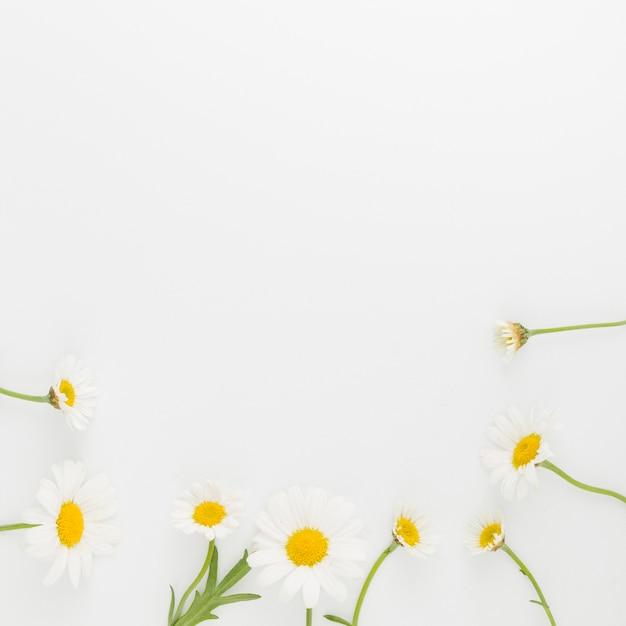 Quadro de margaridas de vista superior Foto gratuita