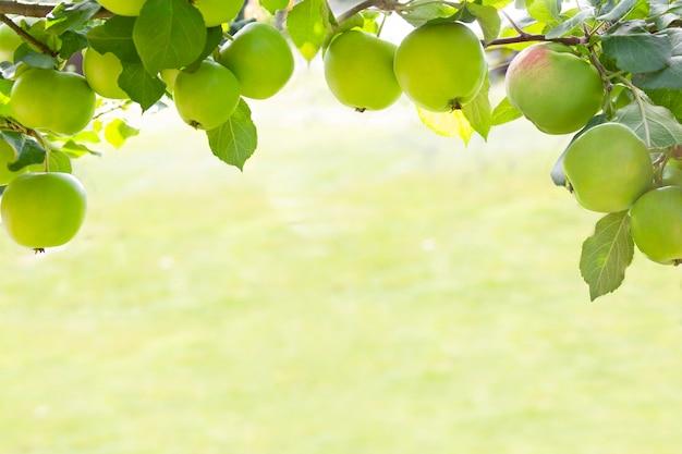 Quadro o fundo das maçãs no ramo cultivado no jardim orgânico na luz da manhã ao ar livre, close-up Foto Premium