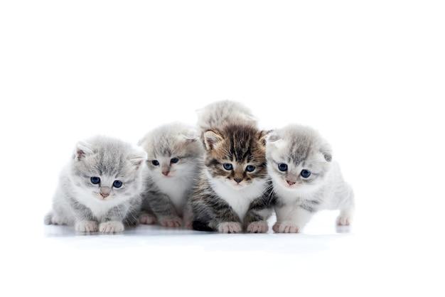 Quatro pequenos gatinhos fofos cinza e um gatinho marrom escuro estão posando no estúdio de fotografia branco Foto Premium