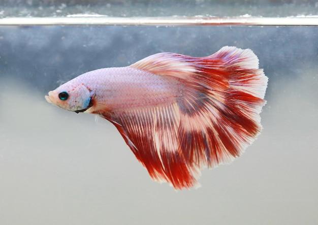 Rabo de peixe beta vermelho branco nadar no tanque de água Foto Premium