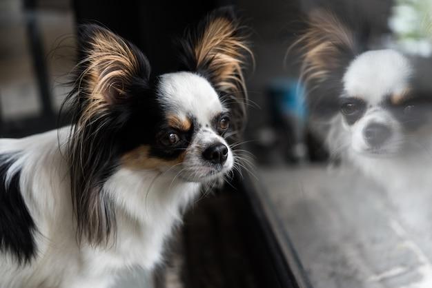 Raça de cachorro chihuahua olhando algo Foto Premium