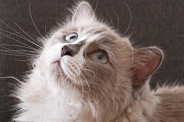 Ragdoll raça de gato cara close-up Foto gratuita