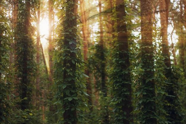 Raios de sol despeje na floresta de verão Foto Premium
