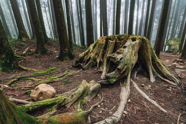 Raiz gigante de pinheiros de vida longa com musgo na floresta Foto Premium