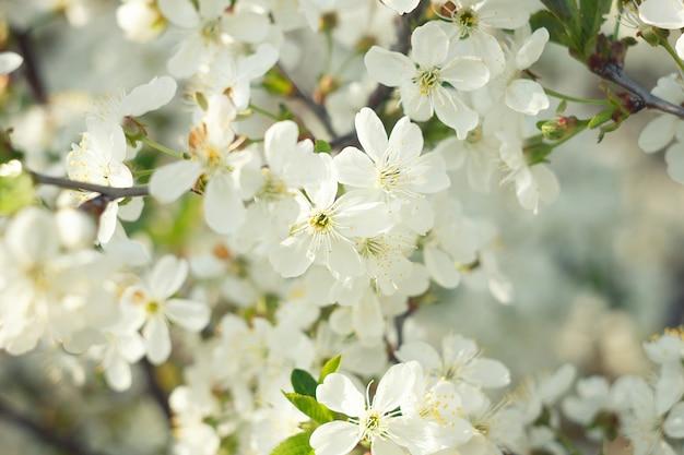 Raminhos de floração cereja Foto Premium