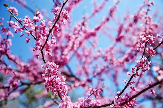 Ramo de árvore de flor de cerejeira Foto Premium