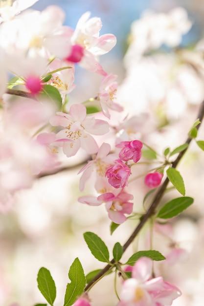 Ramo de árvore de flor-de-rosa. fundo desfocado. feche acima, foco seletivo. Foto Premium