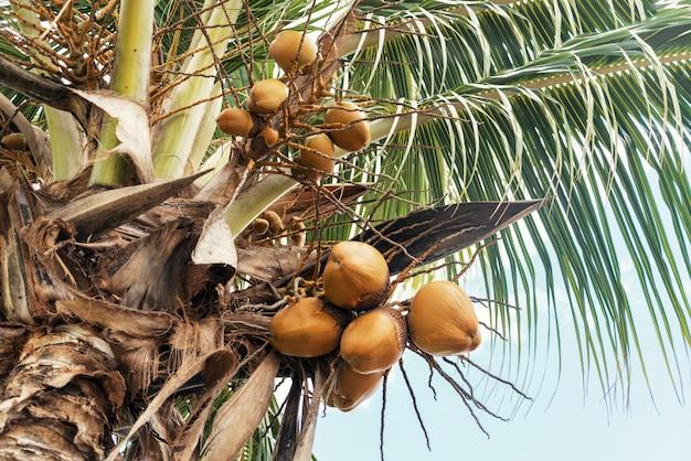 Ramo de bagas de coco na palmeira Foto Premium