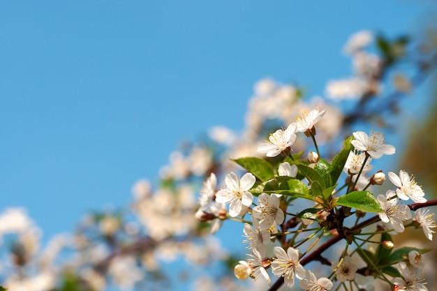 Ramo de cereja romântico com flores em flor no fundo do céu azul claro. Foto Premium