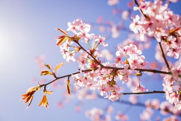 Ramo de flor de sakura rosa debaixo da árvore de sakura Foto Premium