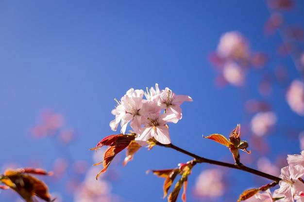Ramo de flor rosa sakura sob sombra de árvore de sakura por trás do raio de luz solar Foto Premium