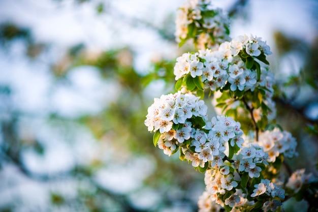Ramo de floração de pêra. florescendo jardim primavera. flores pêra close-up. fundo desfocado. Foto Premium