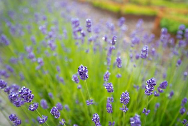 Ramo de flores de lavanda florescendo na temporada de inverno Foto Premium