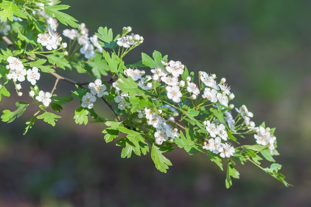 Ramo de florescimento de espinheiro no jardim botânico Foto Premium