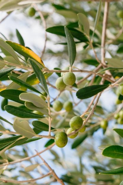 Ramo de oliveira com bagas verdes Foto Premium