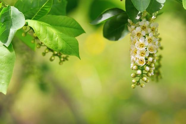 Ramo de uma cereja de pássaro florescendo. floral fundo natural. Foto Premium