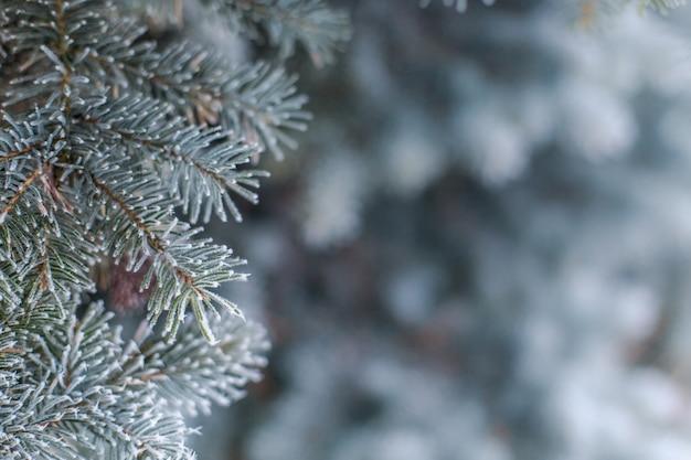 Ramos congelados do close-up macro verde spruce azul. floresta do inverno da neve da geada do pinho da textura. tempestade de neve. Foto Premium