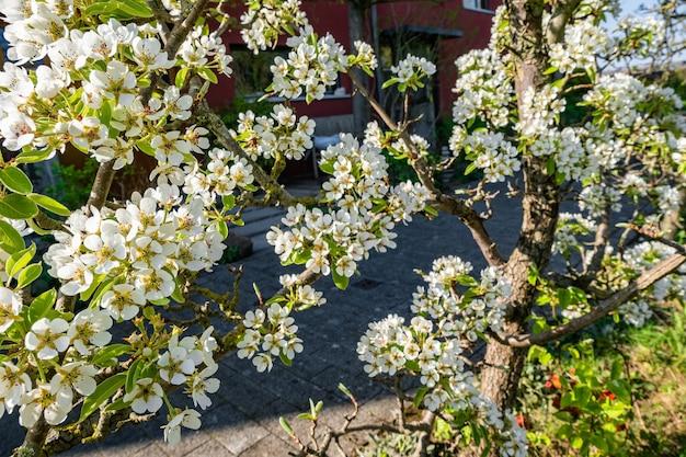 Ramos de flores de macieira nas árvores do quintal Foto gratuita