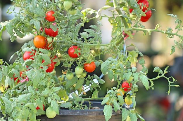 Ramos de tomates cereja Foto Premium