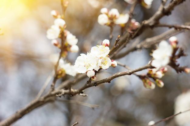 Ramos de um damasco de floração branca com uma luz solar Foto Premium