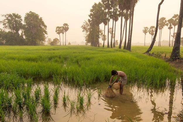Rapaz asiático agricultor pessoas em campo de arroz verde durante o tempo de manhã Foto Premium