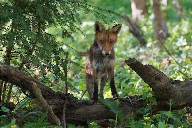 Raposa magnífica à procura de uma presa branca sentada em um tronco de árvore no meio de uma floresta Foto gratuita