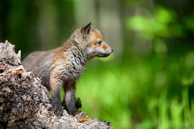 Raposinha vermelha na floresta no toco Foto gratuita